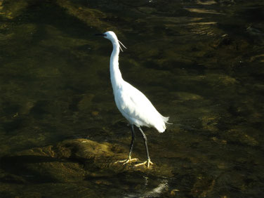 小鷺(こさぎ) 散策路河川 180428撮影 177