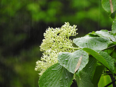 水木の花(みずき) 散策路公園 190426撮影 822