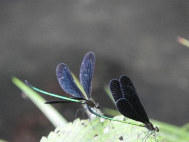 羽黒蜻蛉(はくろとんぼ)散策路池 190820撮影 374