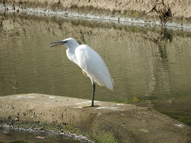 小鷺(こさぎ) 散策路河川 201109撮影 560
