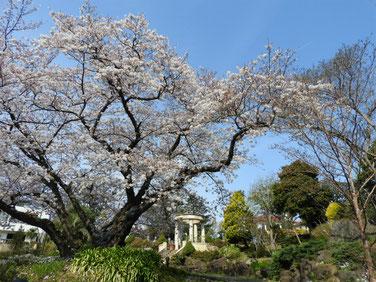 桜 港の見える丘公園 170405撮影 158