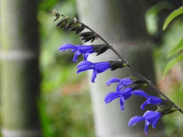 青紫ハーブセージ 散策路 170614撮影 194