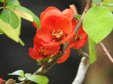 緋木瓜の花(ひぼけ) 散策路 160328撮影 6