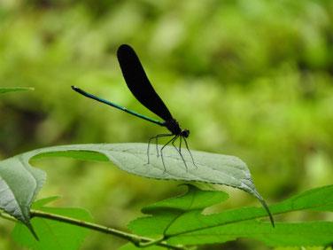 羽黒蜻蛉(はぐろとんぼ) 散策路 170817撮影 110