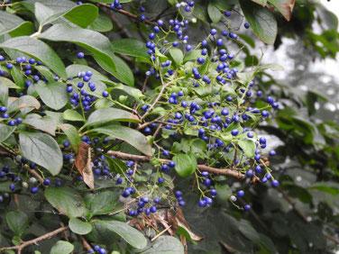 沢蓋木の青い実(サワフタギ)親水緑道200823撮影 890