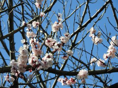 杏の花(あんず) 散策路 200311撮影 943