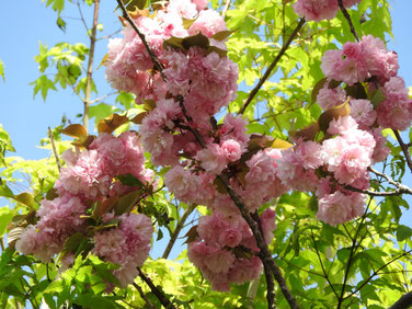 八重桜 残花 散策路 160422撮影 43