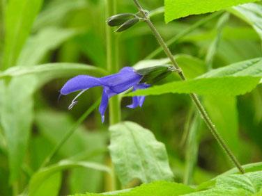 青紫ハーブセージ 散策路公園 190601撮影 483
