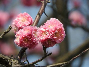 花桃の花 散策路 170320撮影 127