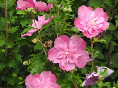 木槿八重ピンク 散策路 160713撮影 103