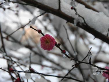 紅梅(こうばい) 散策路雪 180123撮影 75