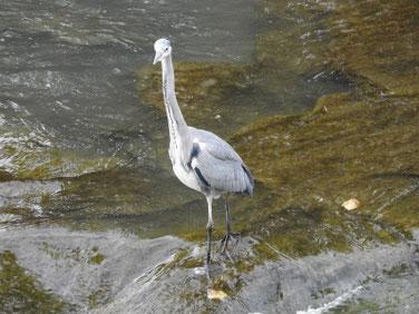 小鷺(こさぎ) 散策路河川 201109撮影 565