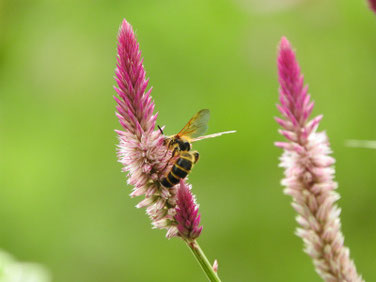 野鶏頭(のけいとう)とミツバチ散策路21098撮影 513