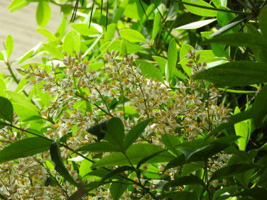 南天の花(なんてん) 実家庭 200609撮影 762