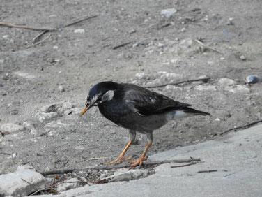 椋鳥(むくどり) 散策路 170715撮影 105