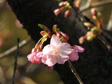 河津桜(かわずざくら)散策路 200205撮影 143