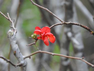 寒木瓜の花 散策路170104撮影 11