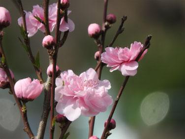 桃の花(もものはな) 散策路 190322撮影 653