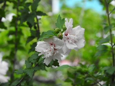 木槿(むくげ) 散策路 200627撮影 806