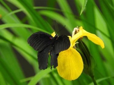 アゲハ蝶と黄菖蒲 散策路公園 190601撮影 335