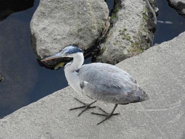 青鷺(あおさぎ) 散策路河川 190102撮影 259
