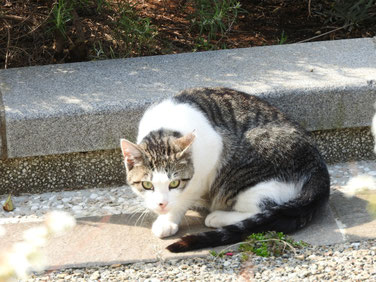 横浜山手ブラフ99ガーデンの猫 170408撮影 80