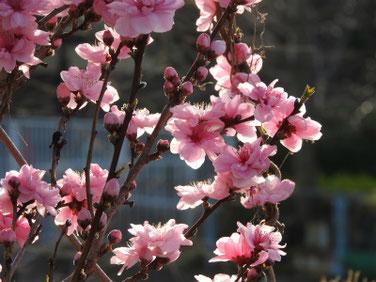 桃の花(もものはな)散策路 200321撮影 999