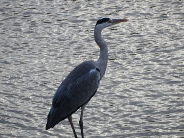 青鷺(あおさぎ) 散策路河川 181025撮影 233