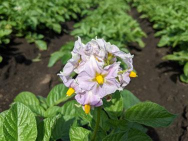 茄子の花(なす)スマホ 210504撮影 1374