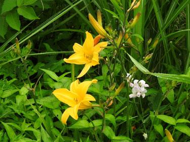 禅庭花(ぜんていか) 散策路 160609撮影 49