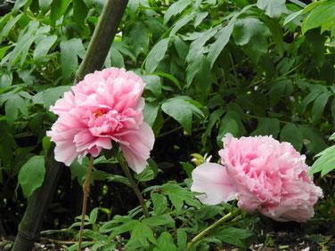 牡丹 鎌倉神苑ぼたん庭園 160429撮影 57