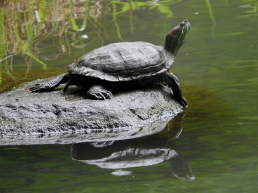 アカミミガメ 散策路親水公園池 180621撮影 197
