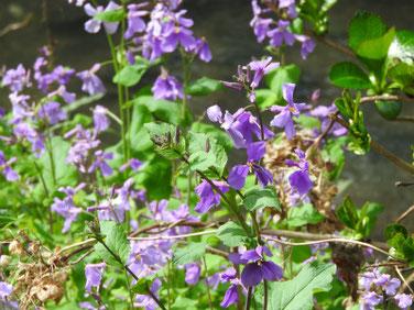 紫花菜(むらさきはなな)親水緑道 200315撮影 973