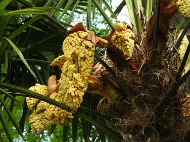 棕櫚の花(しゅろ)散策路 200423撮影 1111