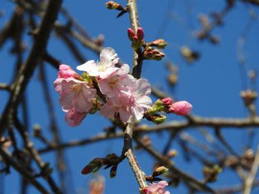 河津桜(かわずざくら)散策路 200205撮影 142