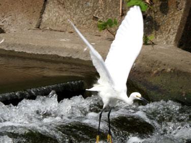 小鷺(こさぎ) 散策路河川 2021003撮影 550