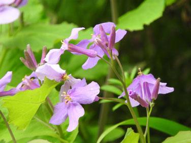 紫花菜(むらさきはなな) 散策路 160328撮影 5