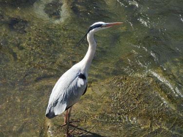 青鷺(あおさぎ) 散策路河川 180428撮影 180
