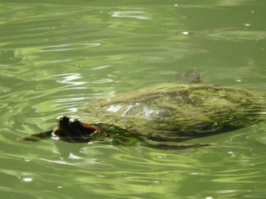 アカミミガメ 親水公園の池 200505撮影 501