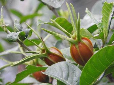 梔子の果実 実家の庭 161111撮影 75