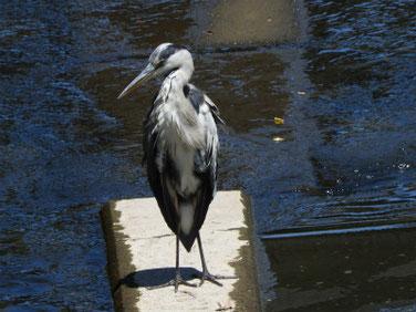 青鷺(あおさぎ) 散策路河川 190810撮影 367