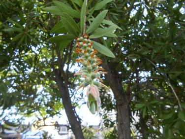 金宝樹(ブラシノキ) マクロ 190505撮影 855