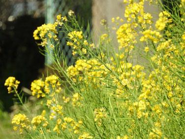 菜の花(なのはな) 散策路 210324撮影 1246