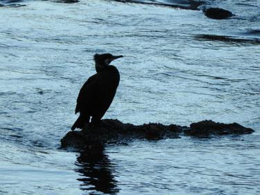 川鵜(かわう) 散策路河川 210131撮影 593