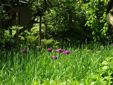 花菖蒲(はなしょうぶ) 北鎌倉東慶寺 170602撮影 136