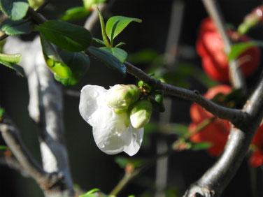 木瓜の花(ぼけ)親水緑道 200315撮影 979