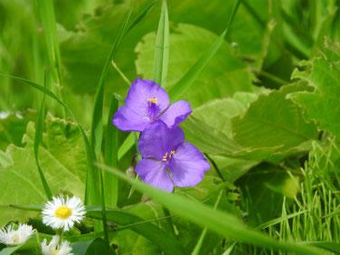 大紫露草(おおむらさきつゆくさ)散策路200511撮影1125