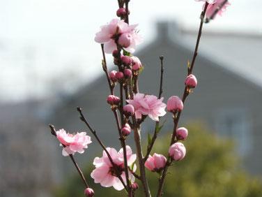 桃の花(もものはな) 散策路 190322撮影 654