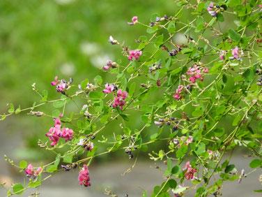 荻の花(おぎのはな) 散策路 170915撮影 110