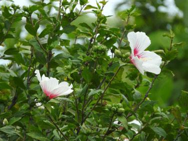 木槿(むくげ) 散策路 200626撮影 805